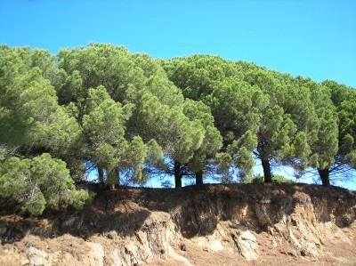Tapeta: Piniový háj 1