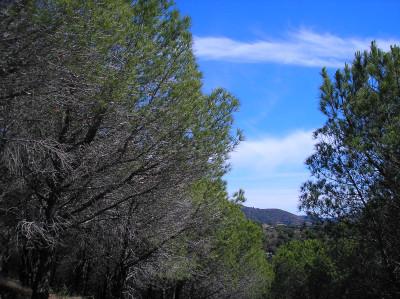 Tapeta: Piniový háj 2