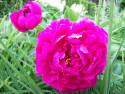 Tapeta Pivoňka tmavě růžová