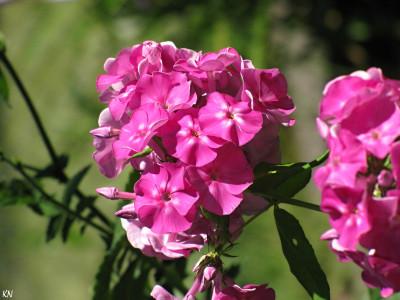 Tapeta: Plamenka - fialová
