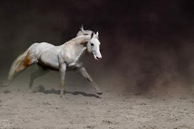 Tapeta: Plemenný hřebec 2