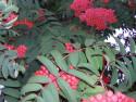 Tapeta Plody jeřabiny