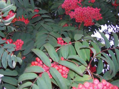Tapeta: Plody jeřabiny