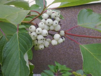 Tapeta: Plody svídy červené