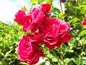 Tapeta Pnoucí růže červená