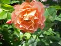 Tapeta Pnoucí růže oranžová