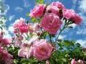 Tapeta Pnoucí růže růžová