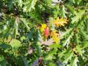 Tapeta Podzim- dub