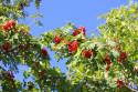 Tapeta Podzim-jeřabiny