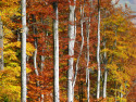 Tapeta podzim v bukovém lese