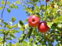Tapeta Podzimní -jablka
