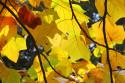 Tapeta Podzimní -katalpa