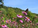 Tapeta Podzimní astry