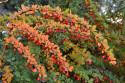 Tapeta Podzimní berberis (dřišťál)