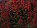 Tapeta podzimní červeň