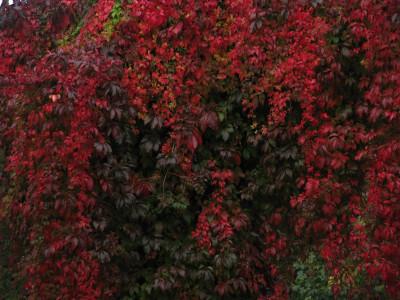 Tapeta: podzimní červeň