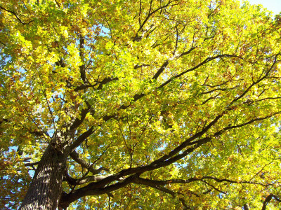 Tapeta: Podzimní koruna