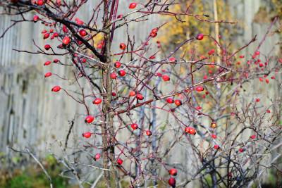 Tapeta: Podzimní šípky