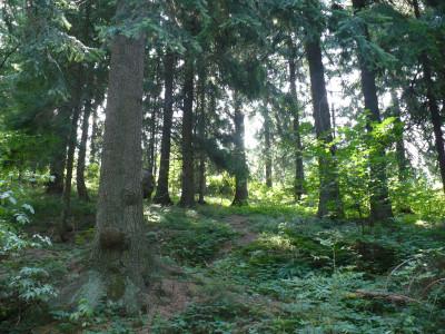 Tapeta: Pohled do lesa