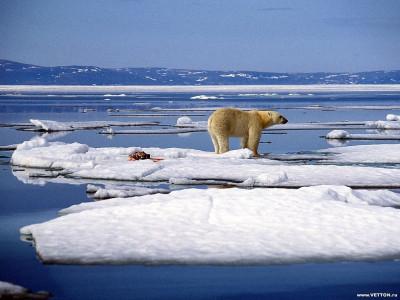 Tapeta: Polární medvědi 3