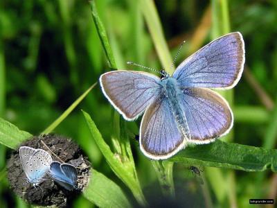 Tapeta: Polyommatus amandus 2