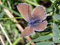 Tapeta Polyommatus amandus 3