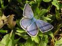 Tapeta Polyommatus icarus