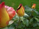 Tapeta poupata růží