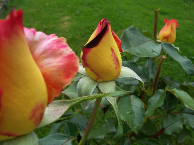 Tapeta: poupata růží