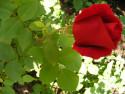 Tapeta poupátko růže