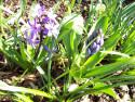 Tapeta Poupě hyacintu