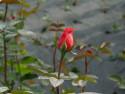Tapeta Poupě růže