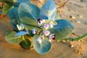 Tapeta Pouštní květ