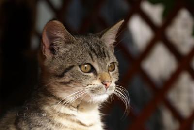 Tapeta: pózující kotě 1