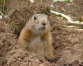 Tapeta Prairie Dog
