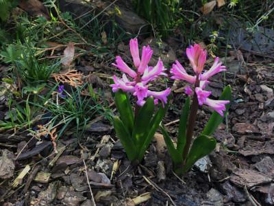 Tapeta: První hyacinty