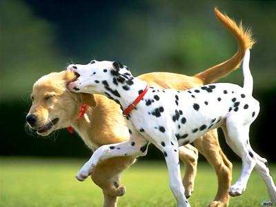 Tapeta: psí hra