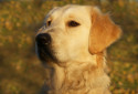 Tapeta psí zlato v parku