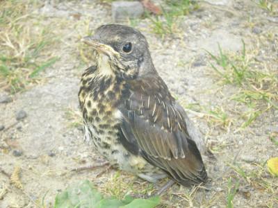 Tapeta: Ptáček4
