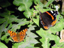 Tapeta Red Admiral