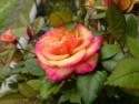 Tapeta rozkvetla ruzicka