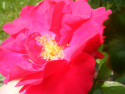 Tapeta rozkvetlý květ