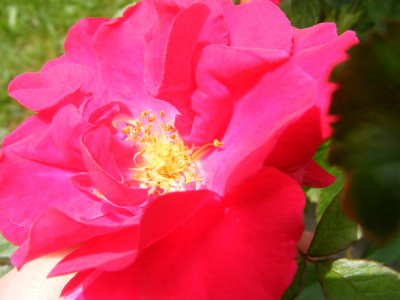 Tapeta: rozkvetlý květ