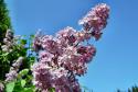 Tapeta rozkvetly šeřík