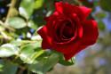Tapeta Rudá růže41