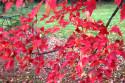 Tapeta rudé listí