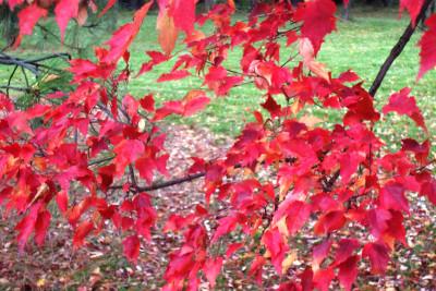 Tapeta: rudé listí