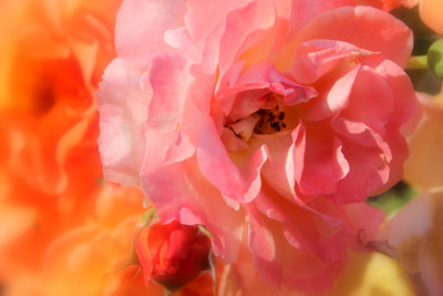 Tapeta: Růž