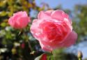 Tapeta Růž832