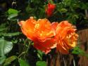 Tapeta Růže02